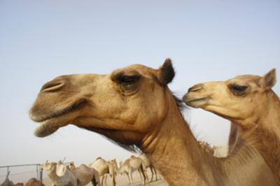 ラクダの画像 p1_28