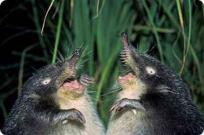 トガリネズミの画像 p1_9