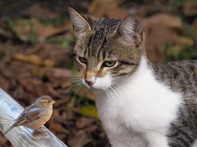 猫「ねぇ 12支に入ってるトリってのはニワトリで、スズメじゃないんだ。知ってた???」 雀「知ってたよ..」