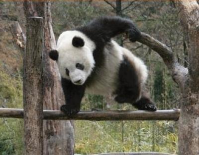 お題 パンダ 動物 熊